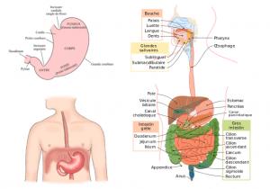 estomac anatomie