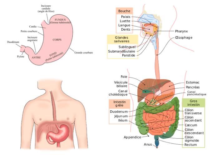 anatomie brulure estomac